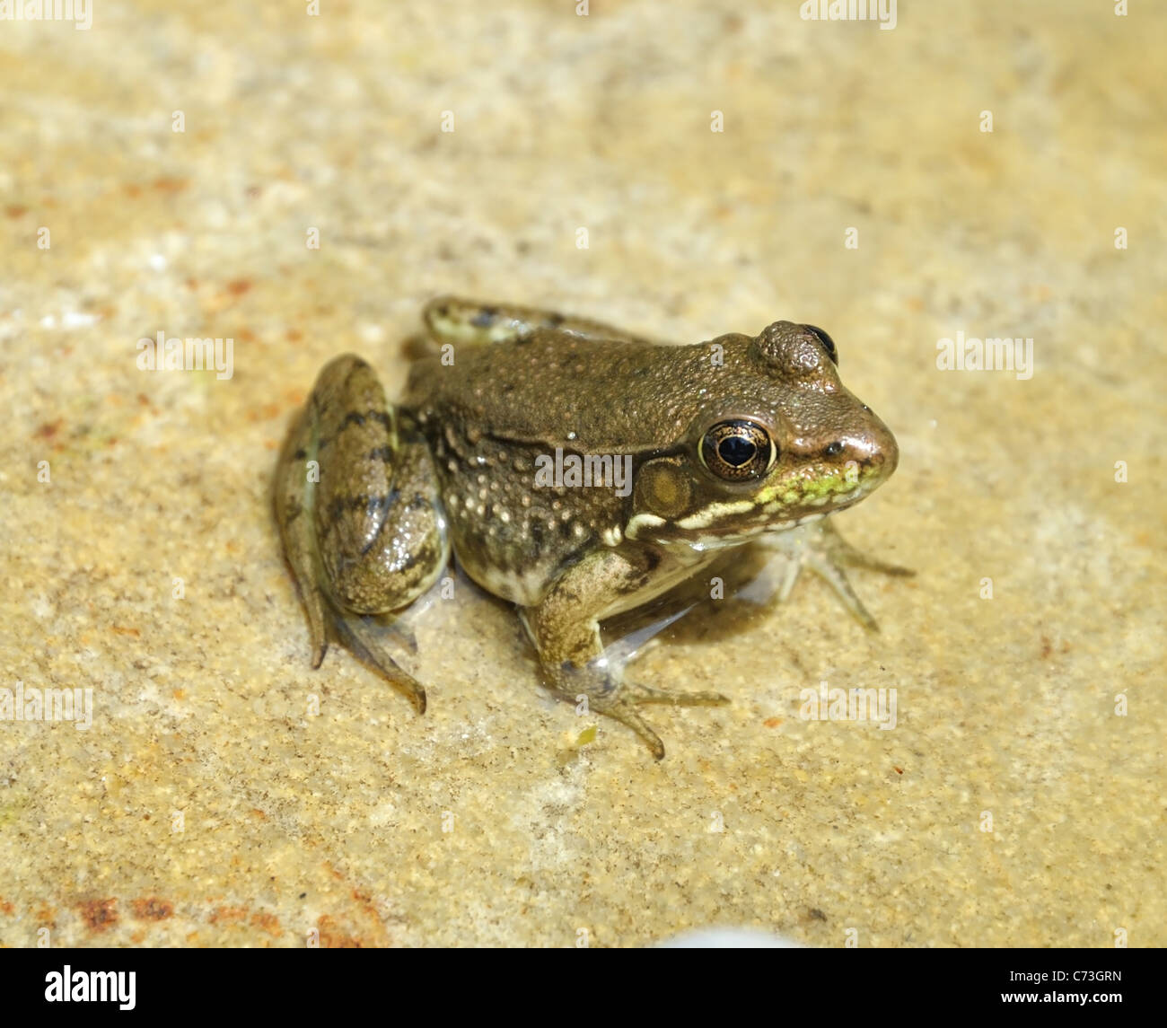 A little frog sitting on a stone in a pond - Stock Image