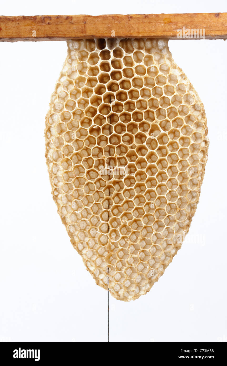 Honey Bee (Apis mellifera, Apis mellifica). Initial construction of honeycomb along stabilizing wire of a frame. - Stock Image
