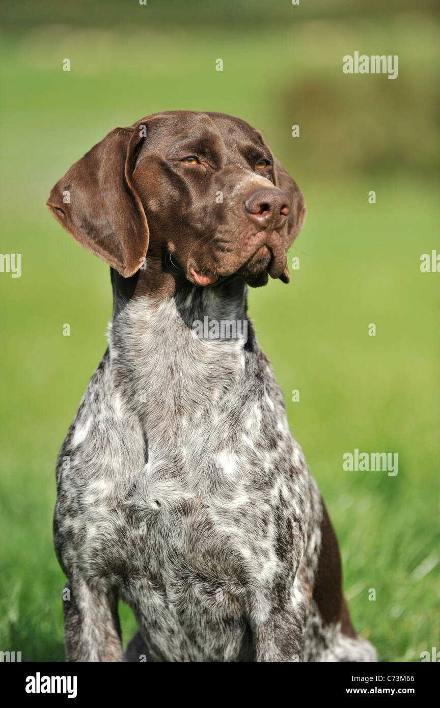 GSP German shorthaired pointer dog - Stock Image