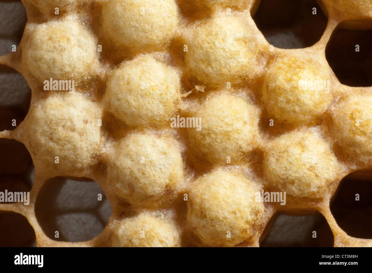 European Honey Bee, Western Honey Bee (Apis mellifera, Apis mellifica). Close-up of closed cells of drones. - Stock Image
