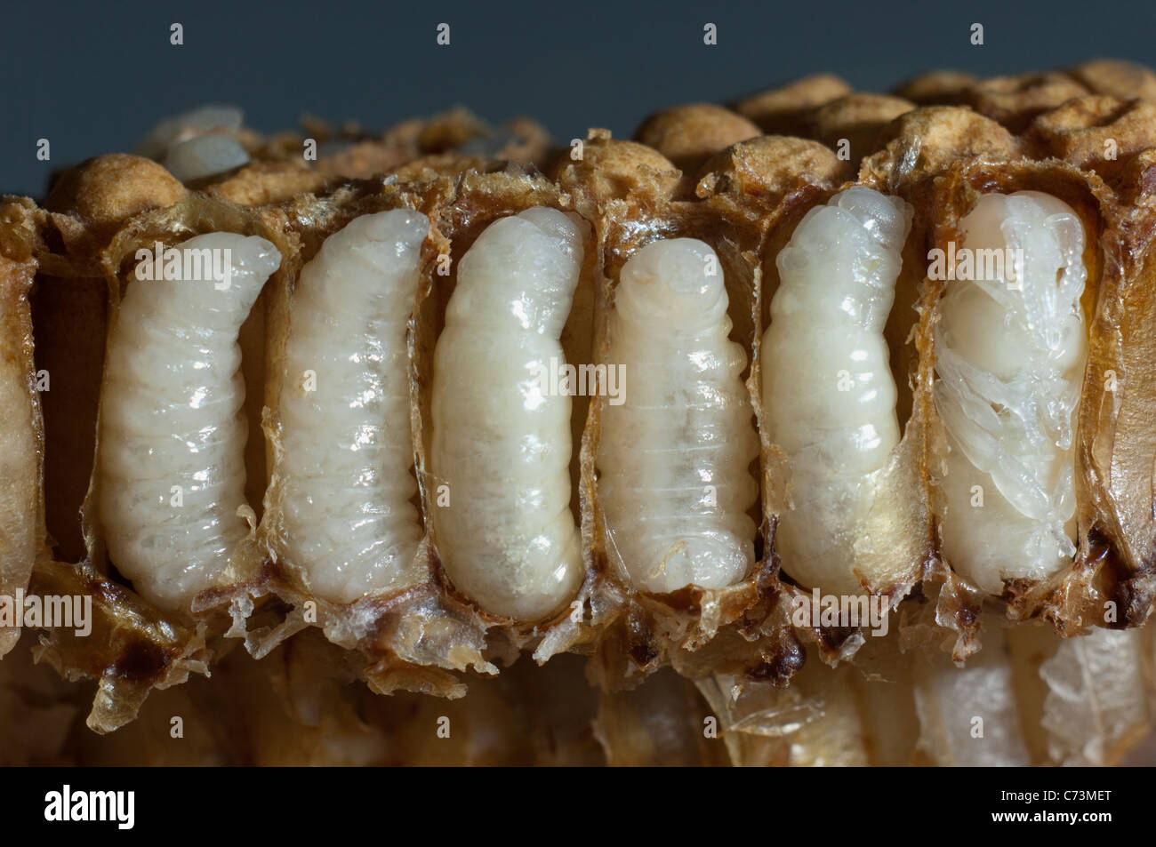 Honey Bee (Apis mellifera, Apis mellifica). Close-up of honeycomb with opened cells, showing male larvae in each - Stock Image