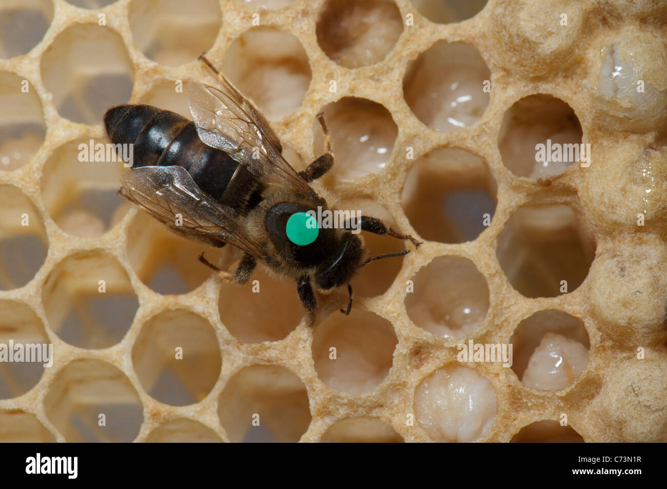 European Honey Bee, Western Honey Bee (Apis mellifera, Apis mellifica). Marked queen on honeycomb. - Stock Image