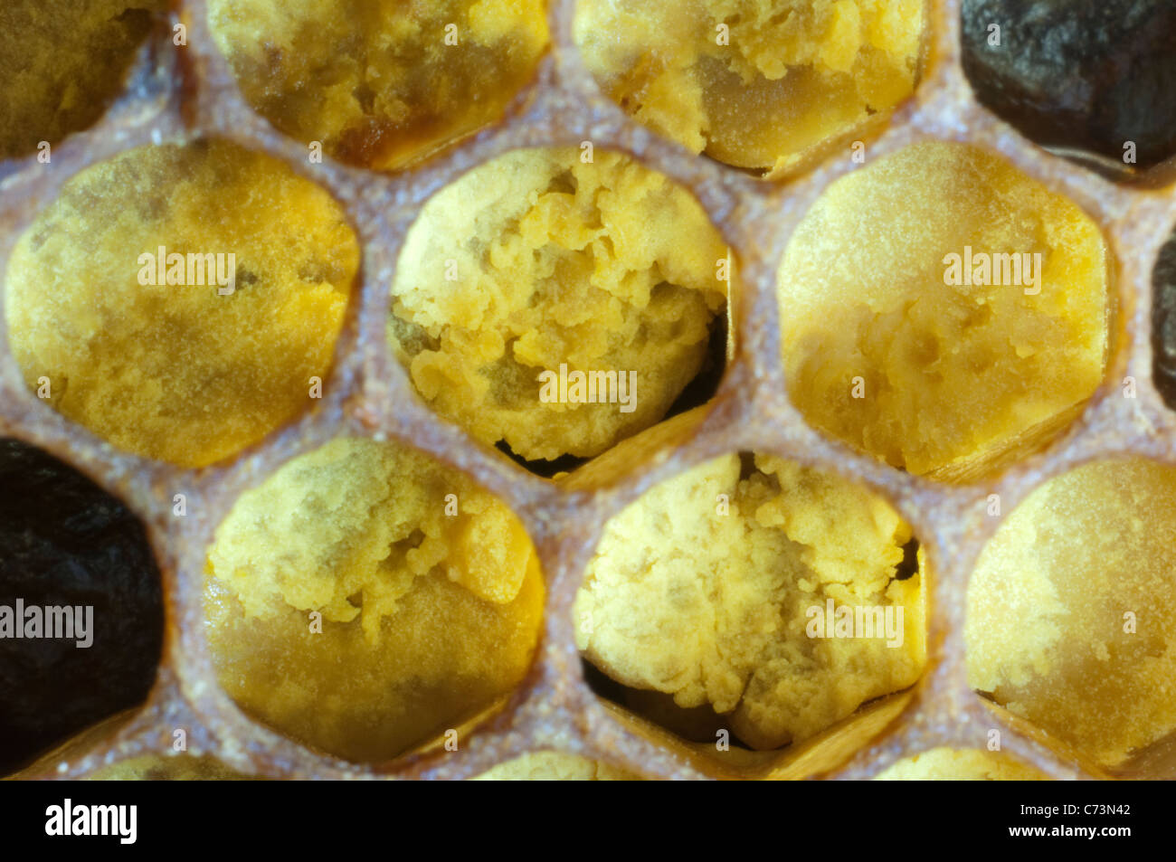 European Honey Bee, Western Honey Bee (Apis mellifera, Apis mellifica). Close-up of cells filled with pollen. - Stock Image