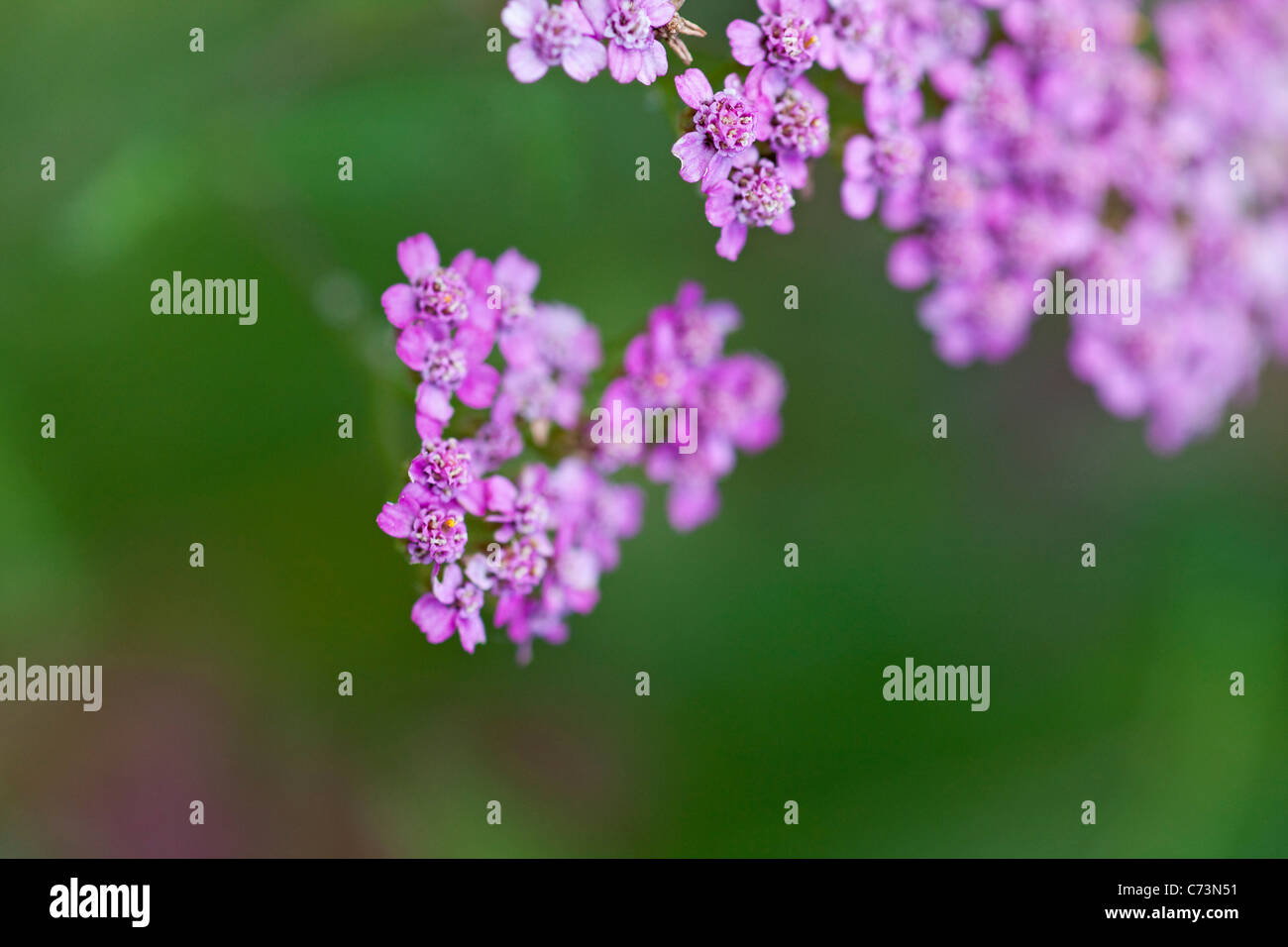 Close-up, of pink flowers in bloom, partly blurred, Bad Essen, Lower Saxony, Germany - Stock Image