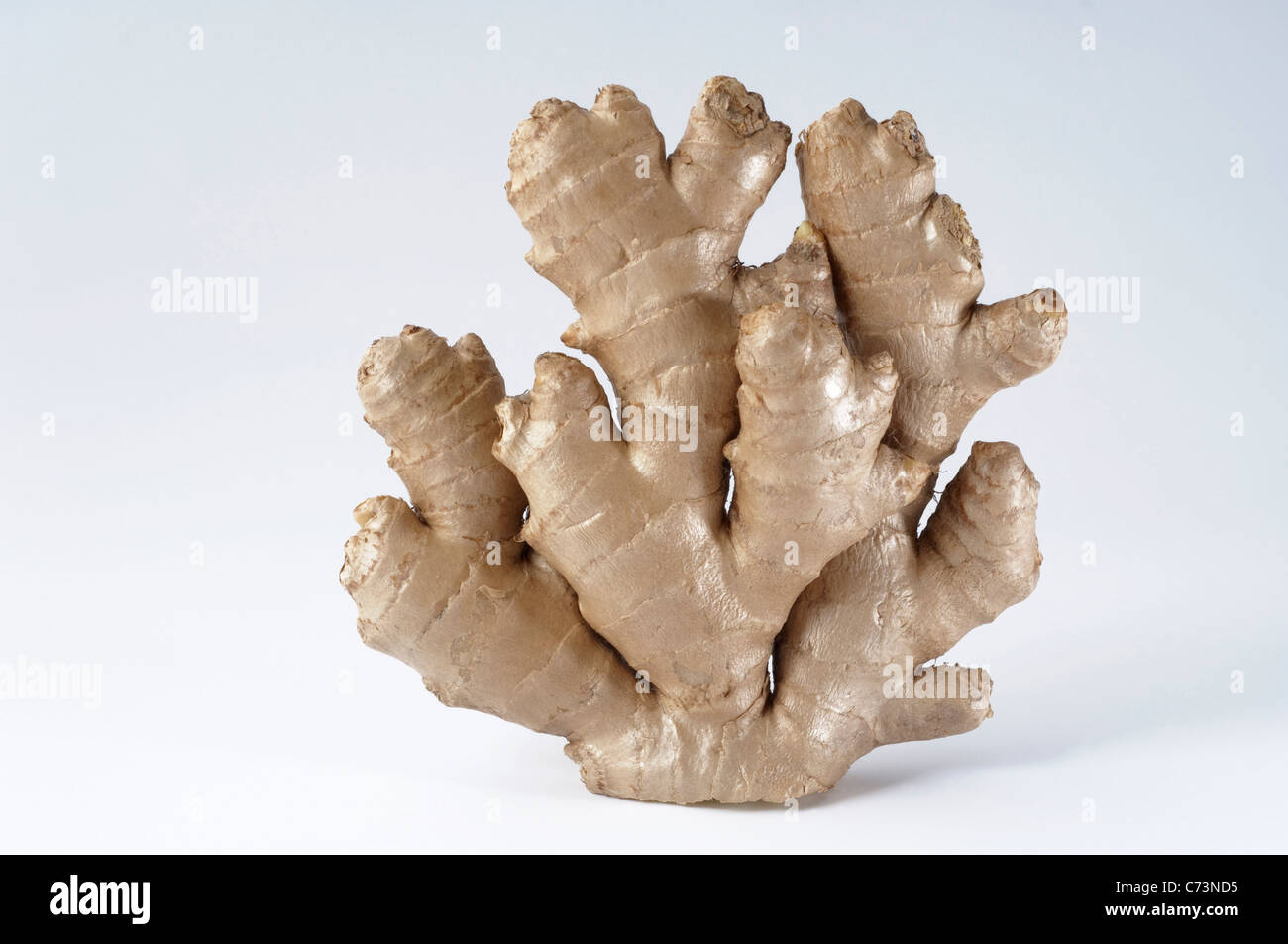 Ginger (Zingiber officinalis), fresh rhizome. Studio picture against a white background. - Stock Image