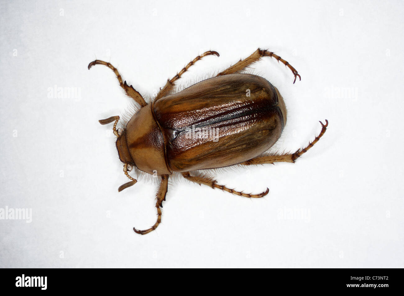 Summer Chafer, European June Beetle (Amphimallon solstitiale). Imago, studio picture against a white background. Stock Photo