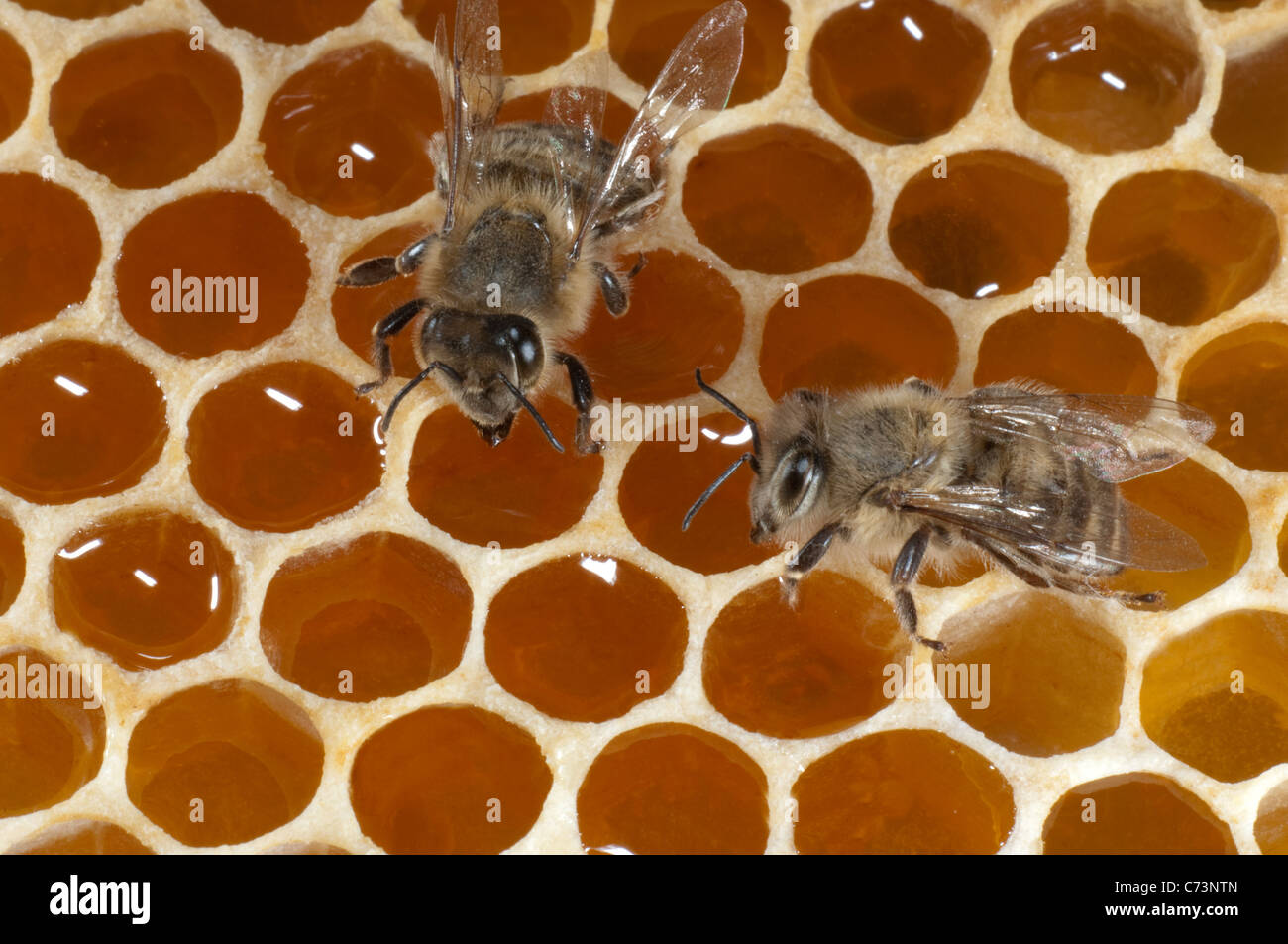 European Honey Bee, Western Honey Bee (Apis mellifera, Apis mellifica). Worker on cells of a honeycomb filled with - Stock Image