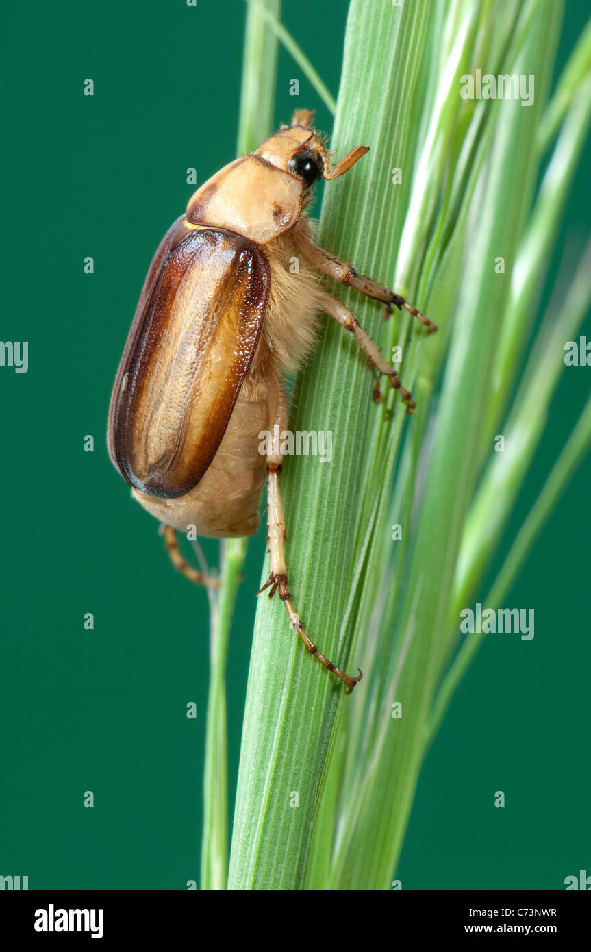 Summer Chafer, European June Beetle (Amphimallon solstitiale). Imago on a grass stalk. - Stock Image