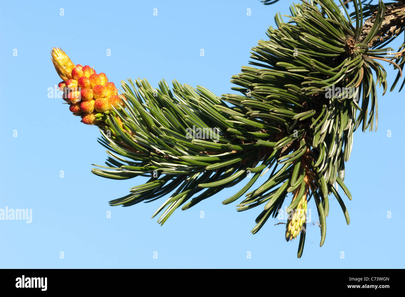 Great Basin Bristlecone Pine (Pinus longaeva), twig with flowers. - Stock Image