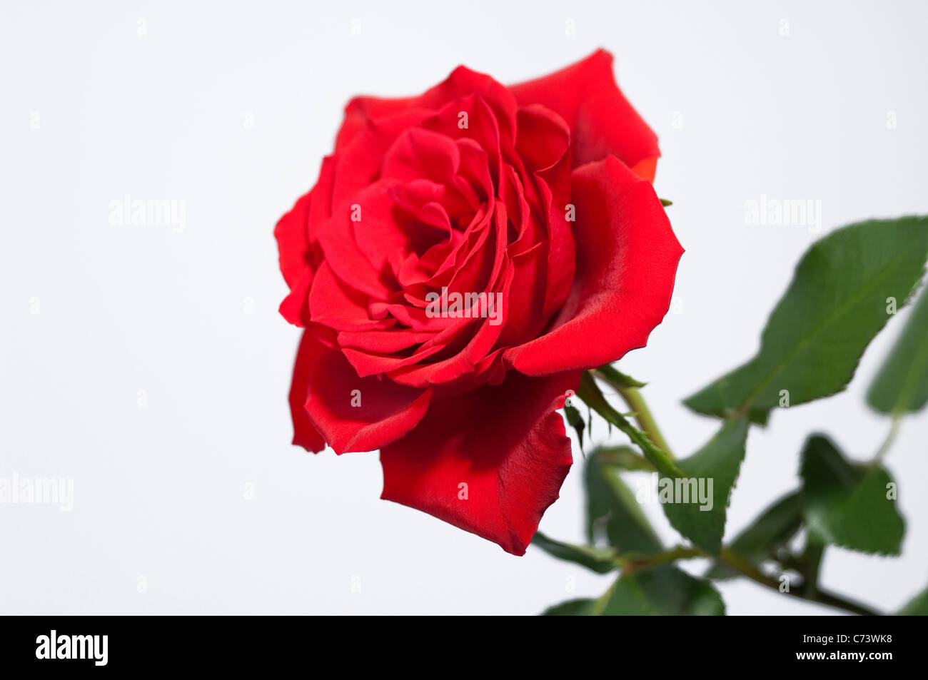 Rose (Rosa sp.), red flower. Studio picture against a white background. - Stock Image