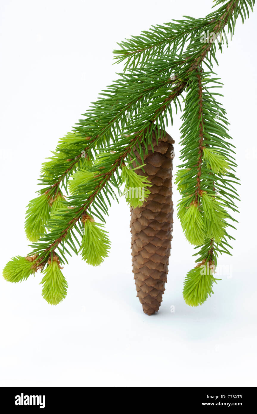 Common Spruce, Norway Spruce (Picea abies). Twig with fresh sprouts and cone. Studio picture against a white background. Stock Photo