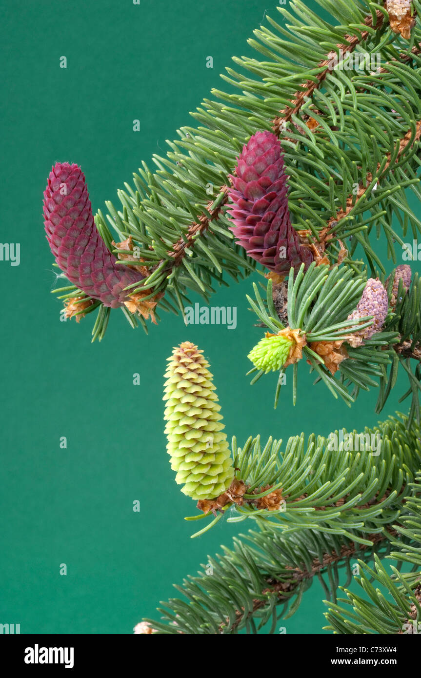 Common Spruce, Norway Spruce (Picea abies). Twig with male and female flowers. - Stock Image