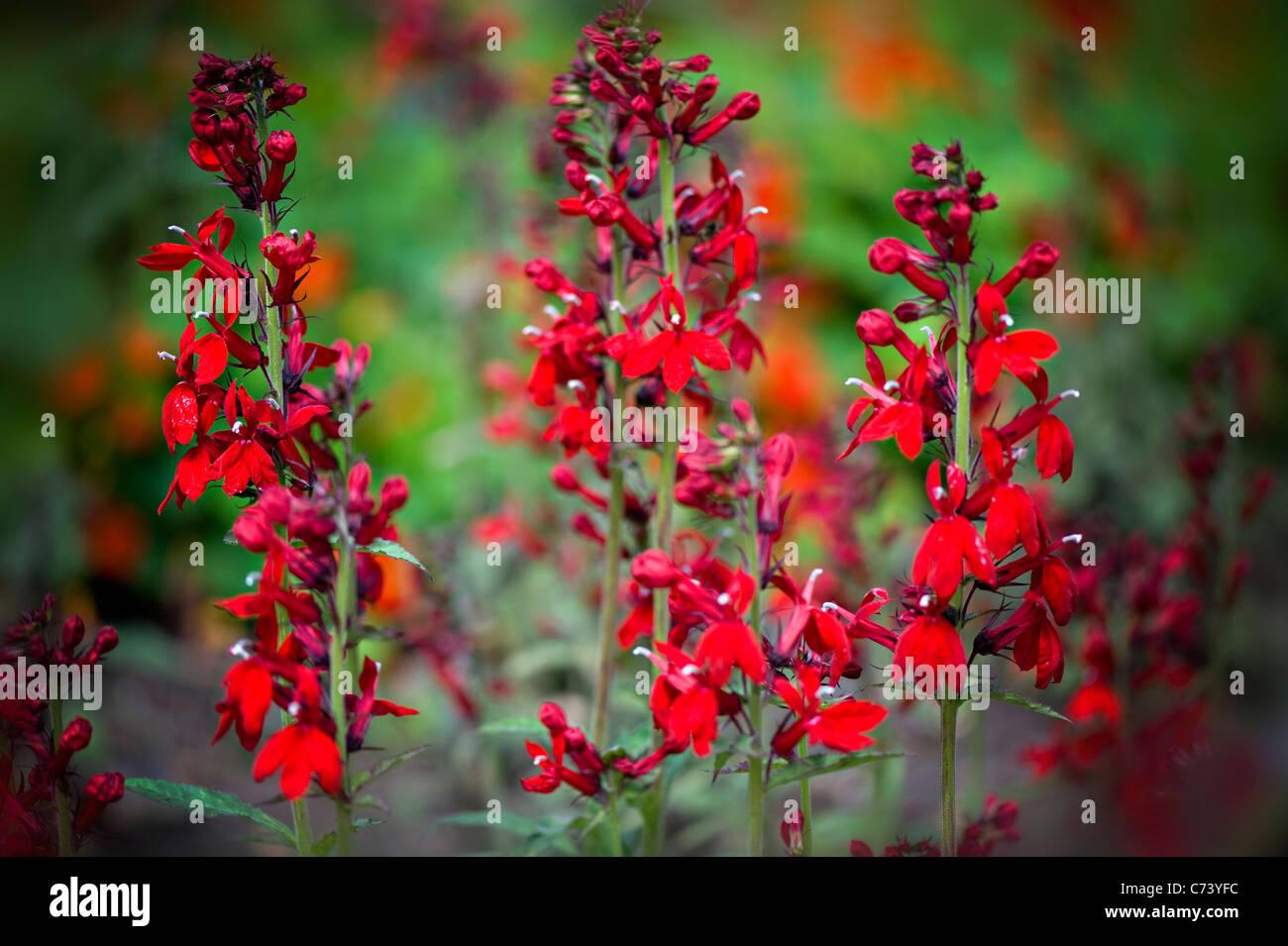Close Up Image Of Lobelia Compliment Scarlet Cardinal Red