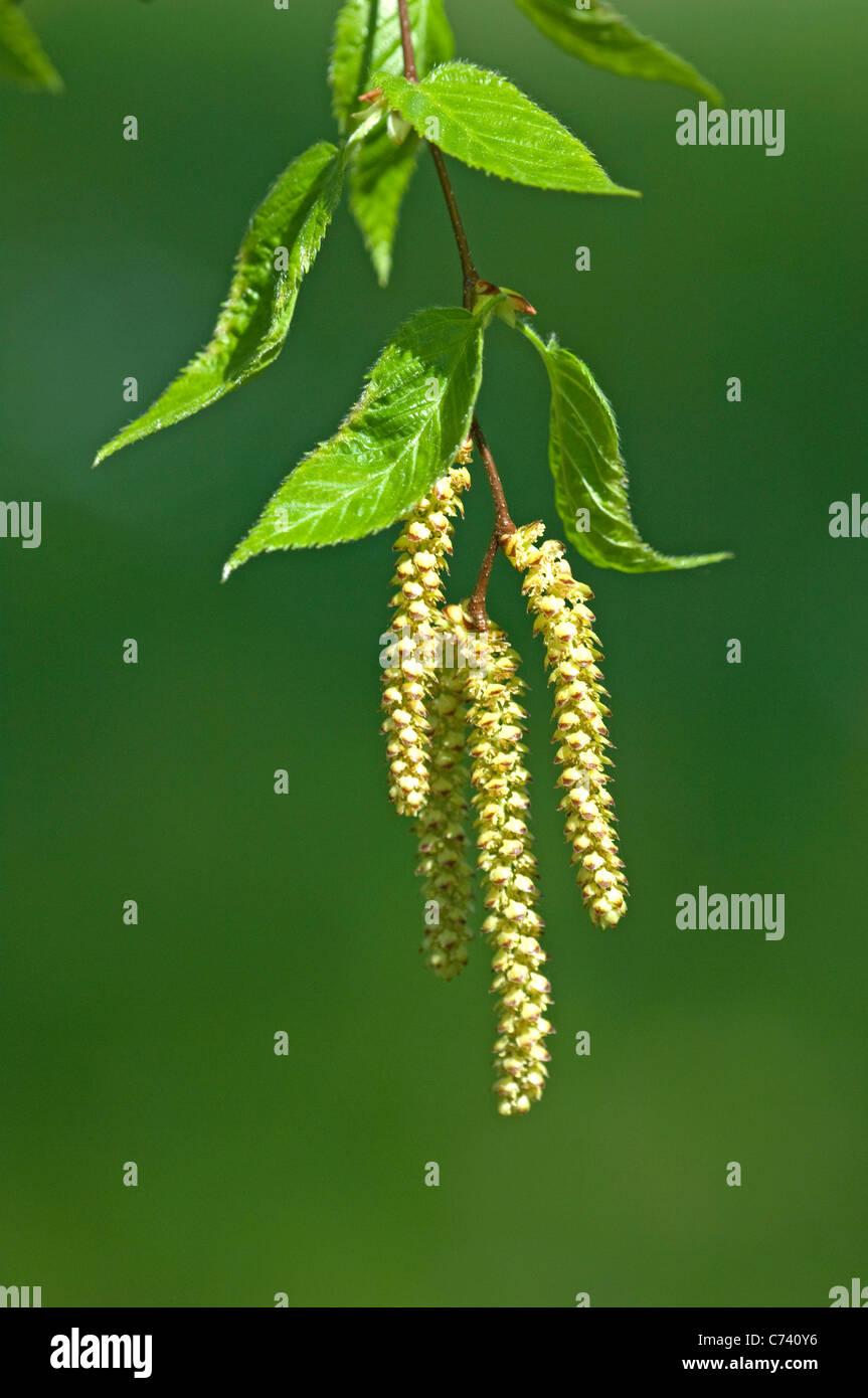 Sweet Birch (Betula lenta), twig with male flowers. - Stock Image