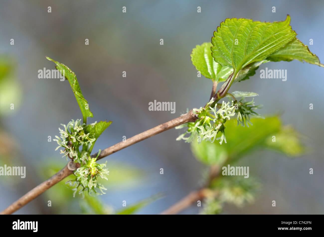 Chinese Mulberry (Morus bombycis Yamaguwa). Flowering twig. - Stock Image