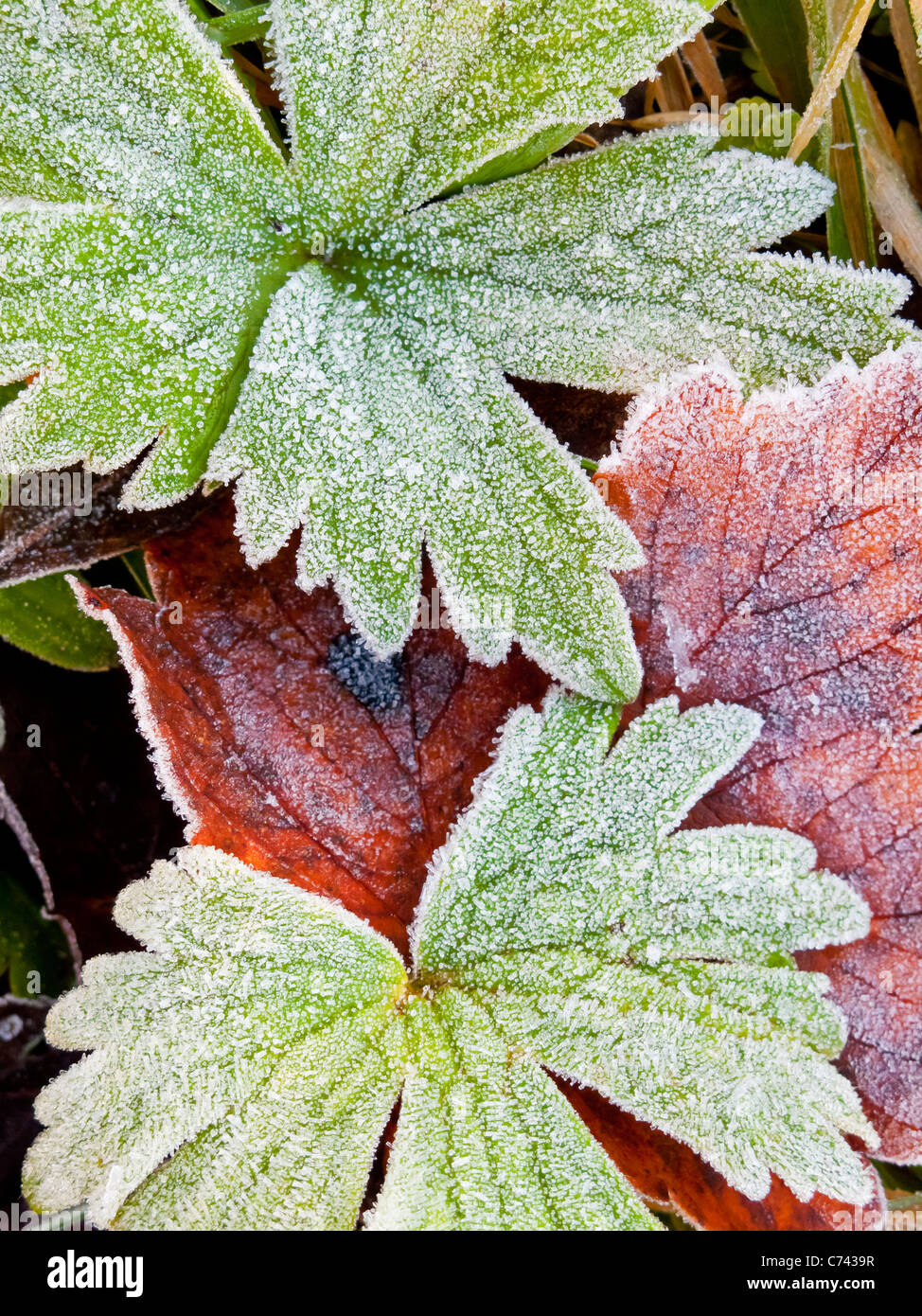 Detail of frost covered autumn leaves in the Derbyshire Peak District England UK Stock Photo