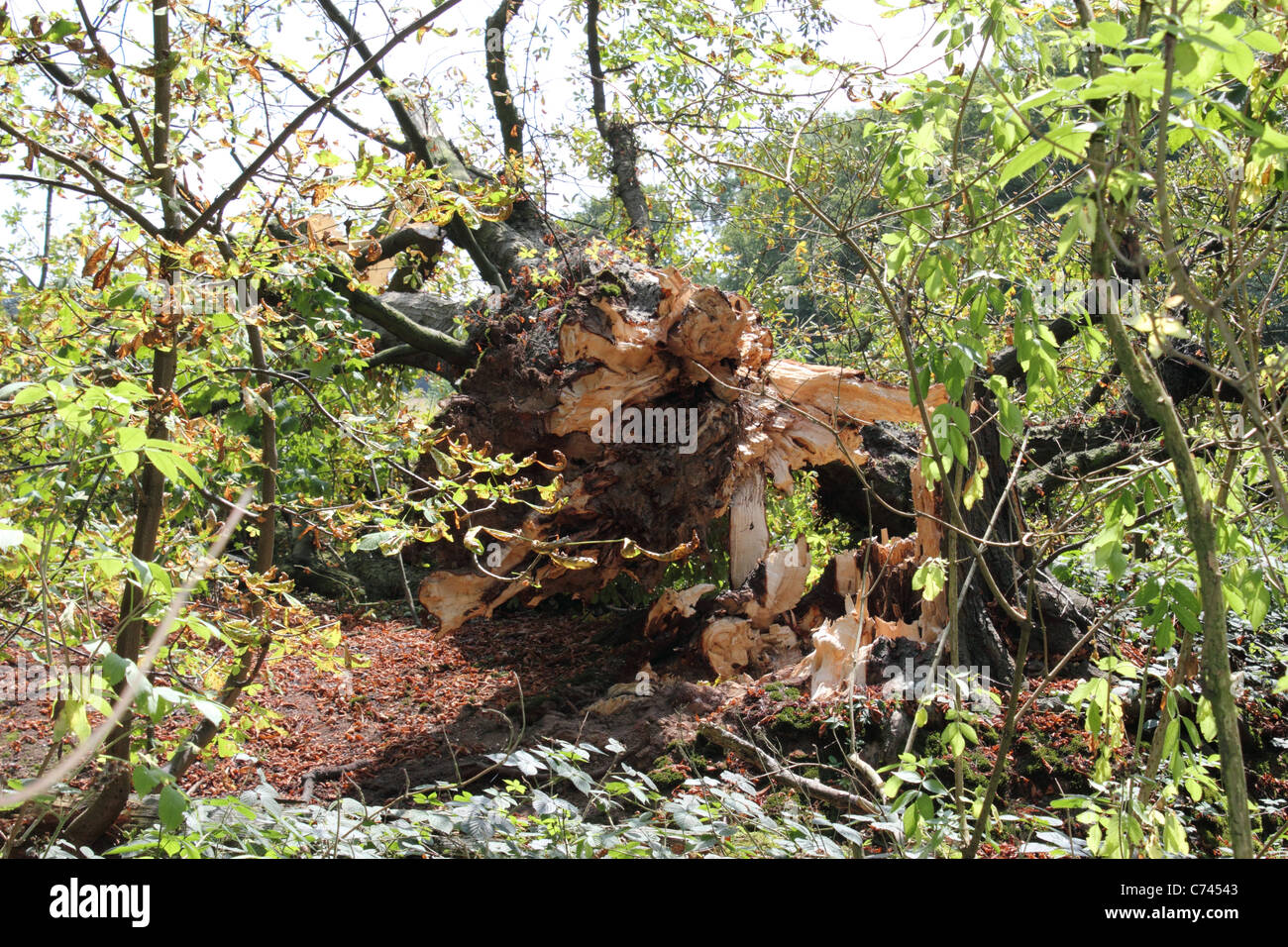 Naturally felled tree in Gobions Wood, the former estate of Sir Thomas More, Brookmans Park, Hertfordshire. - Stock Image