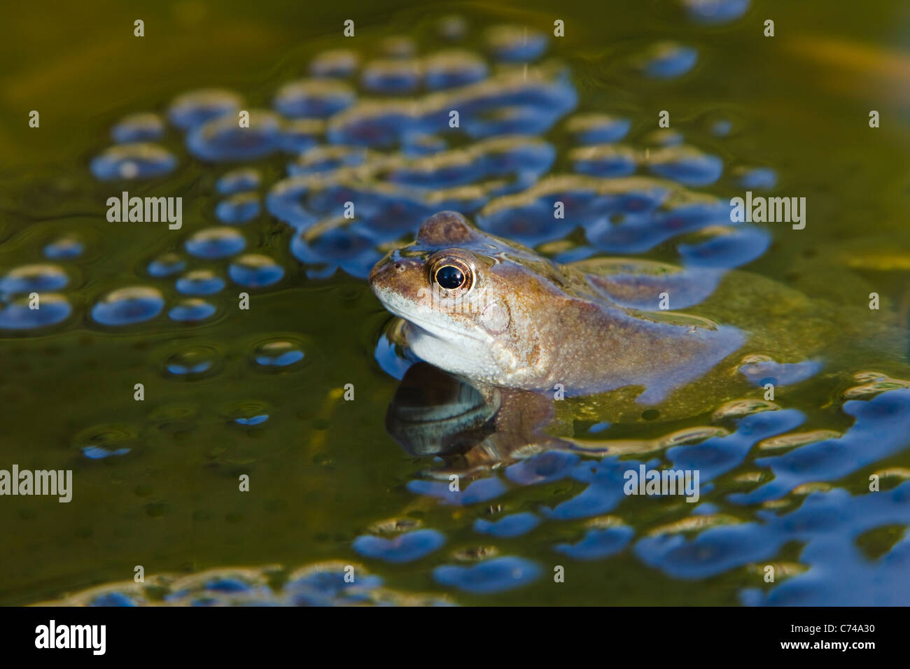 Common Frog - with frogspawn in pond Rana temporaria Essex, UK RE000230 - Stock Image