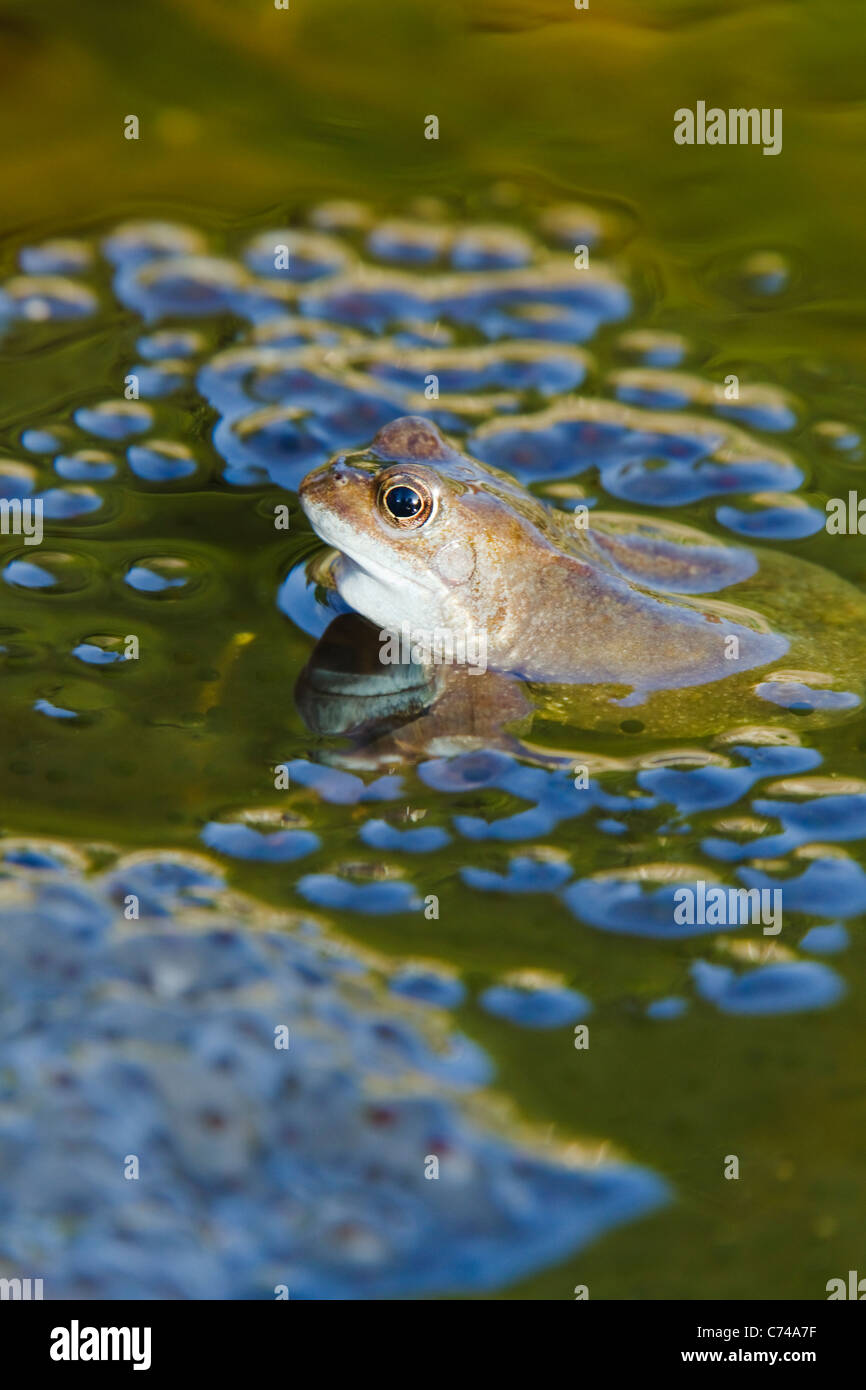 Common Frog - with frogspawn in pond Rana temporaria Essex, UK RE000231 - Stock Image