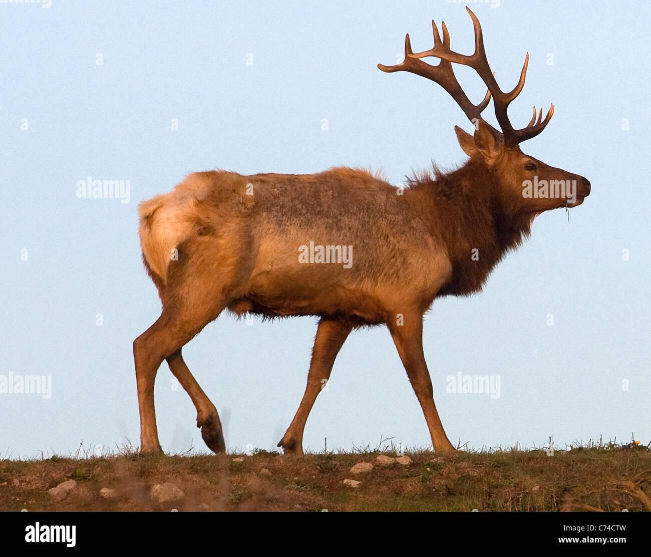 Tule Elk, Point Reyes, California - Stock Image