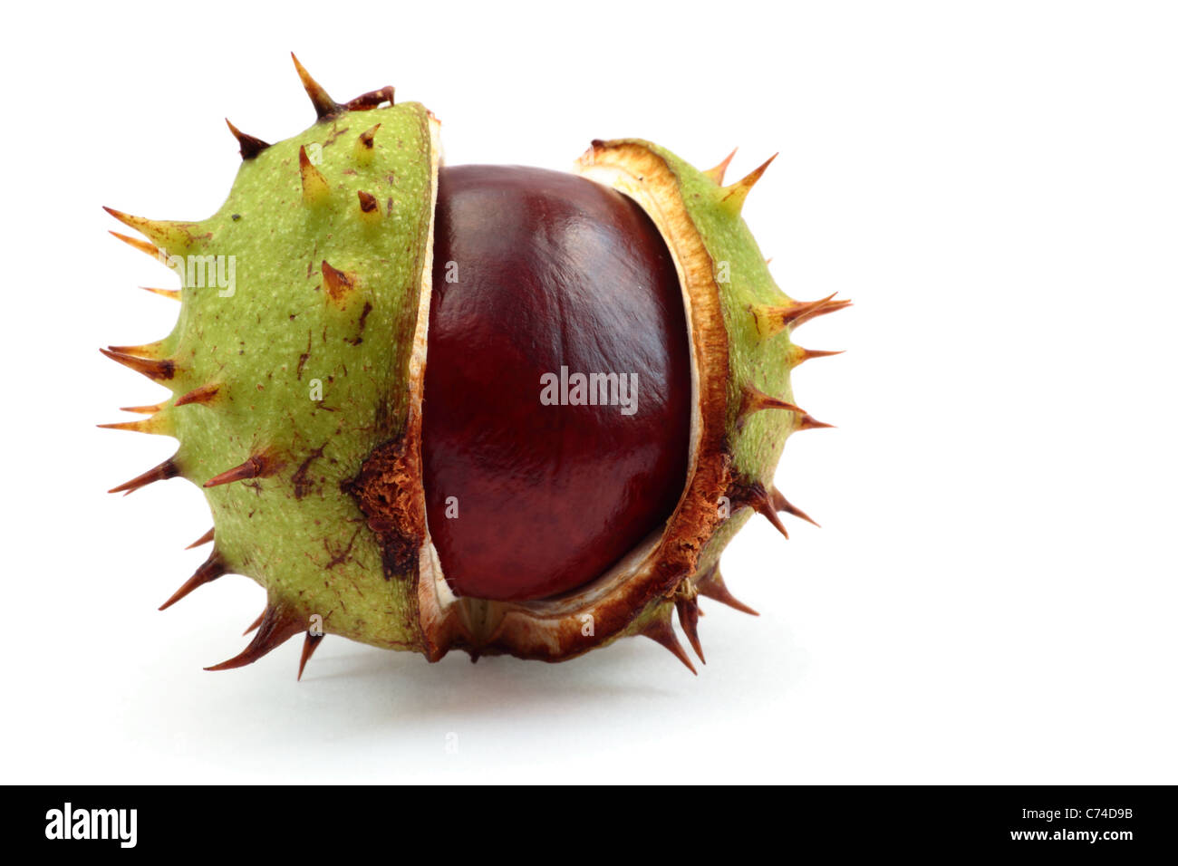 Conker in a shell on a white background. - Stock Image