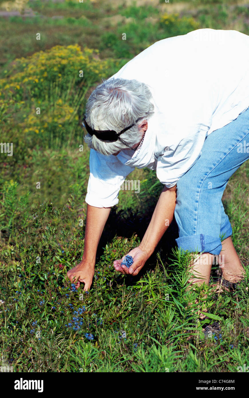 Middle-aged Woman picking Blueberries from Small Wild Blueberry Bush in a Field near Diligent River, Nova Scotia, - Stock Image
