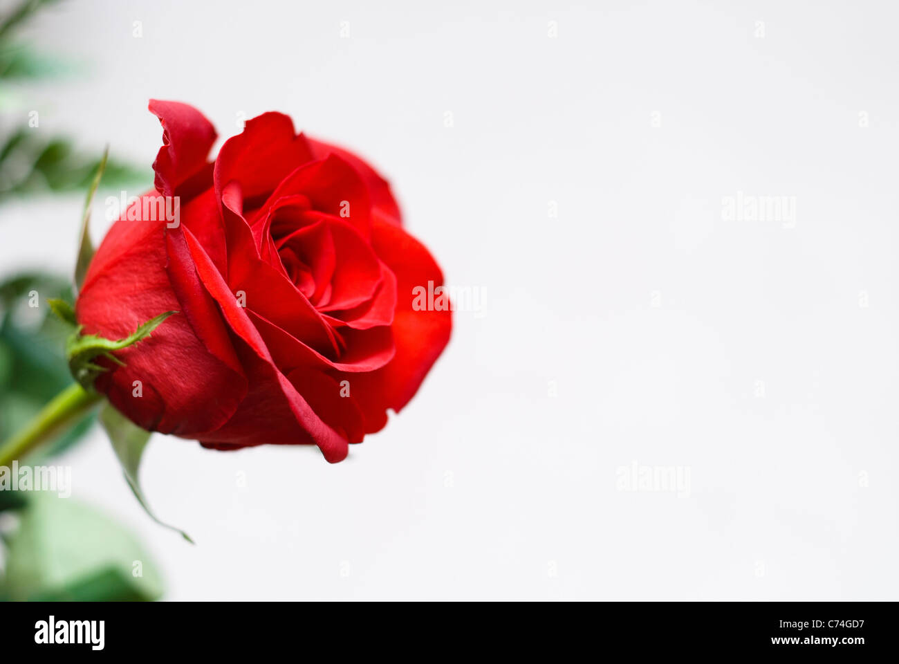 Perfect single red rose against neutral background - Stock Image