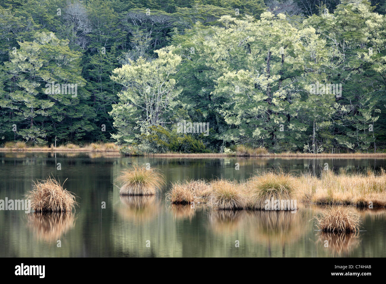 Moss covers the trees of the Snowden Forest near the shore of South Mavora Lake in New Zealand - Stock Image