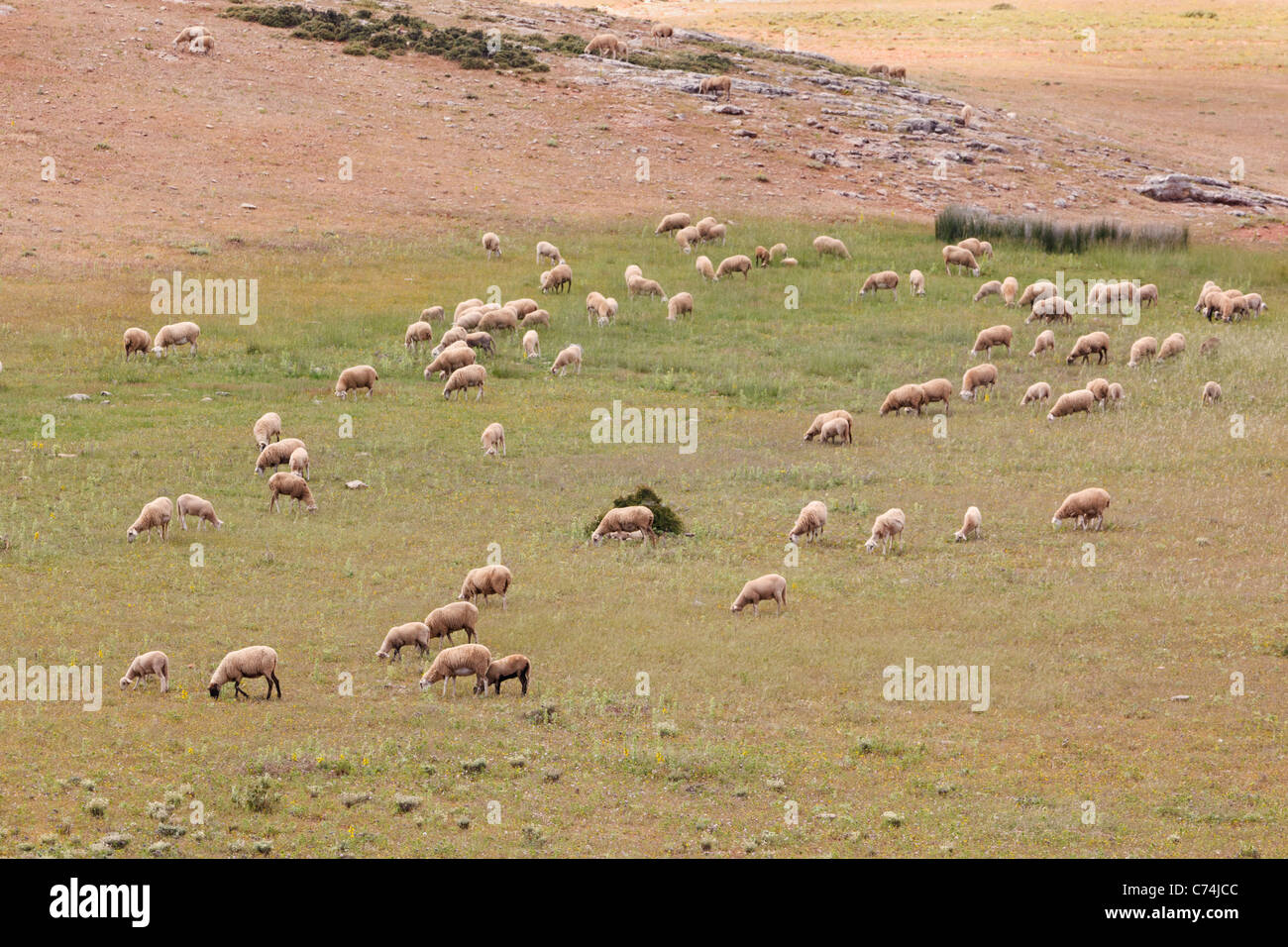 Sheep grazing in the Serrania de Ronda, Malaga Province, Spain. - Stock Image