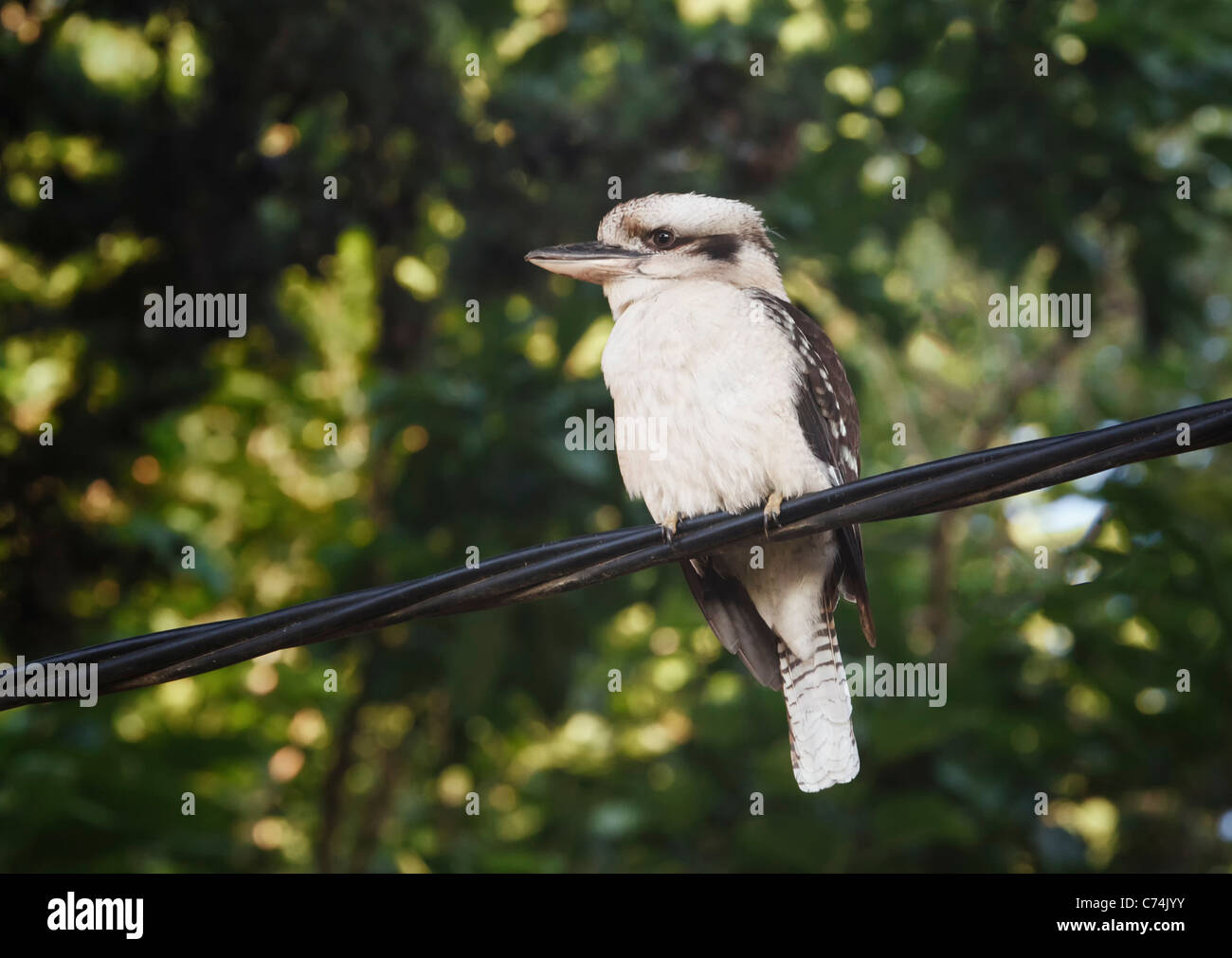 Kookaburra, genus Dacelo. Bird native to Australia and New Guinea. Here seen in suburban setting. - Stock Image