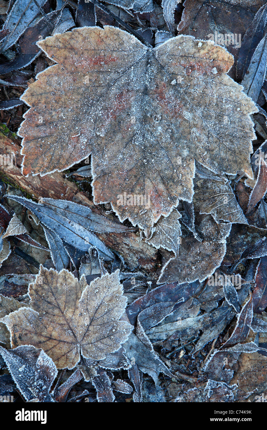 Frost-covered leaves along the shore of the Arrow River near Arrowtown, New Zealand Stock Photo