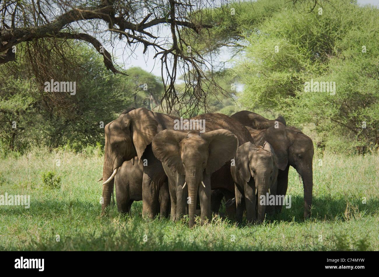 Africa, Tanzania, Tarangire-Elephants huddled together for safety - Stock Image