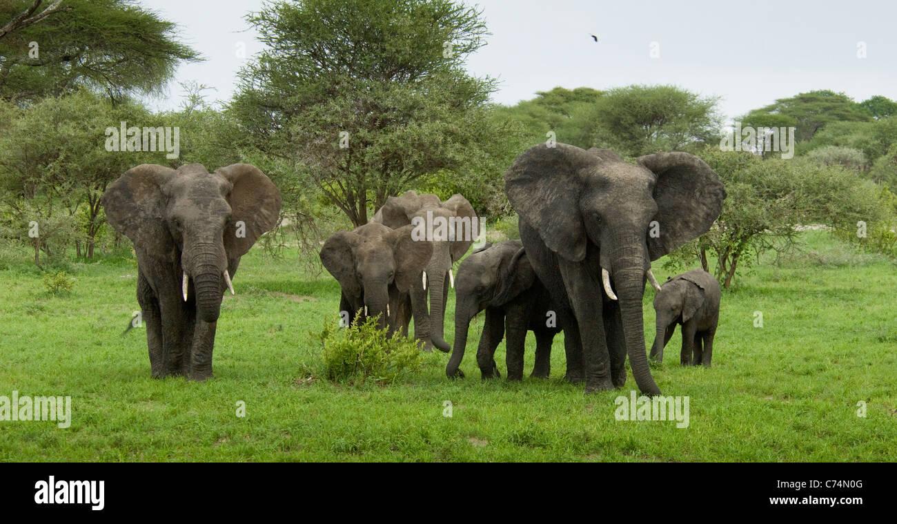 Africa Tanzania Tarangire National Park-Herd of elephants - Stock Image