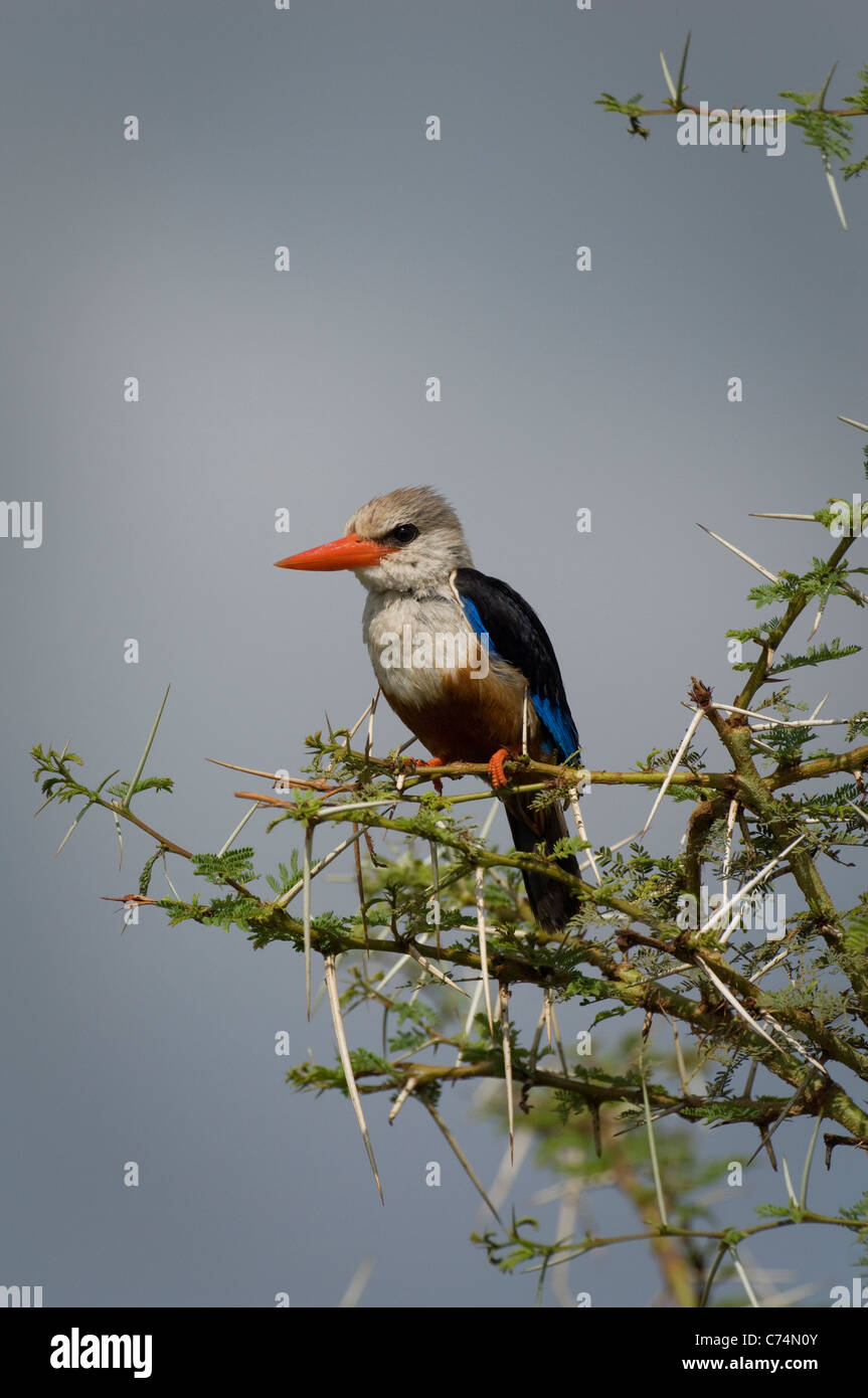 Africa, Tanzania, Lake Manyara National Park-Gray-headed kingfisher - Stock Image