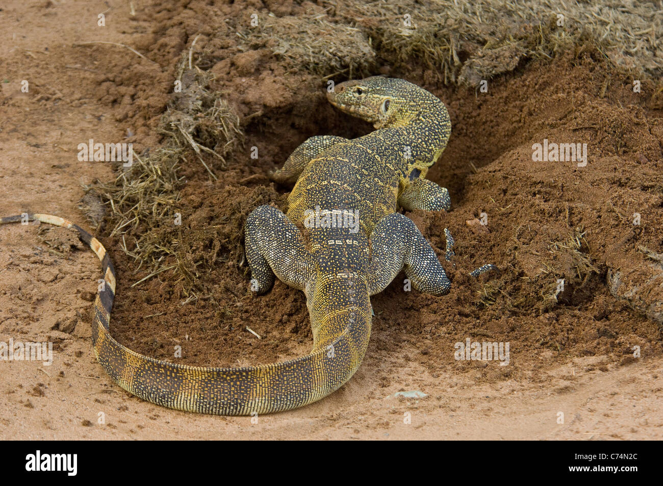 Africa, Tanzania, Lake Manyara-Nile Monitor lizard by hole it dug for dung beetles - Stock Image