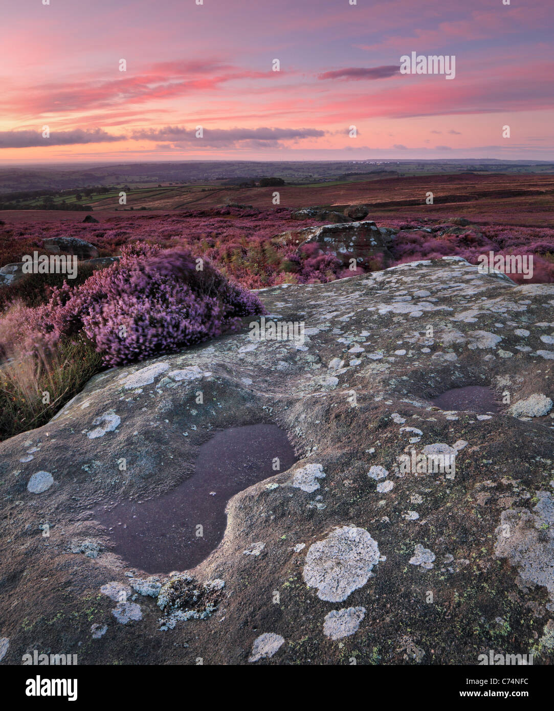 Early morning light on the brightly colored heather of High Crag Ridge and Guise Cliff overlooking Nidderdale - Stock Image