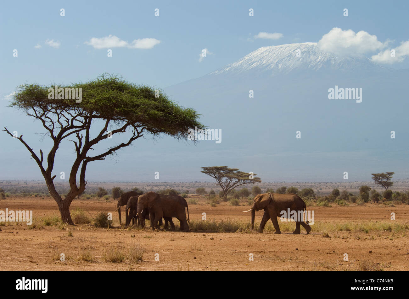 Africa, Kenya, Amboseli-Elephants walking in plains with Mt. Kilimanjaro in background - Stock Image
