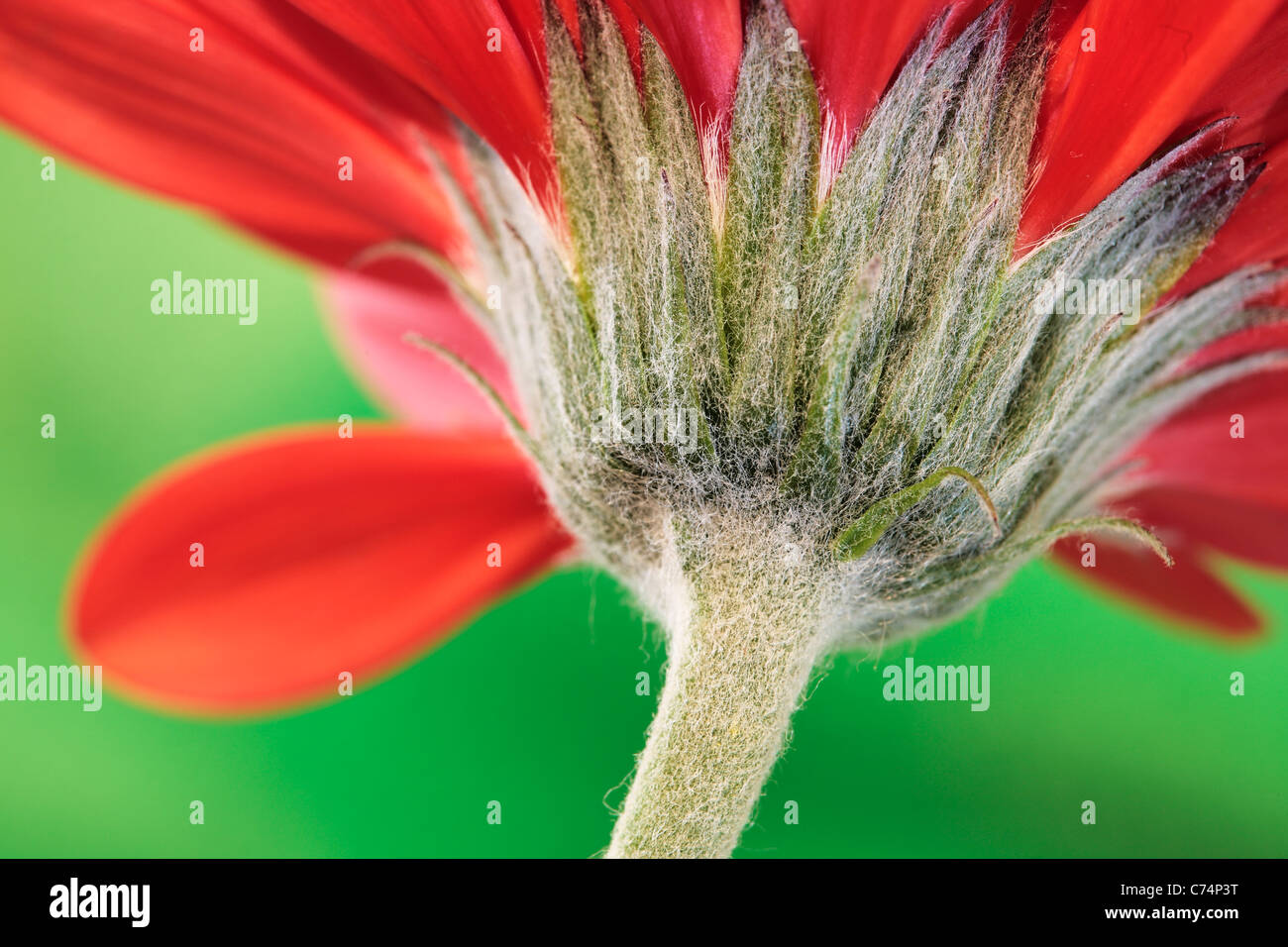 Close up of the stem of a red Chrysanthemum in spring - Stock Image