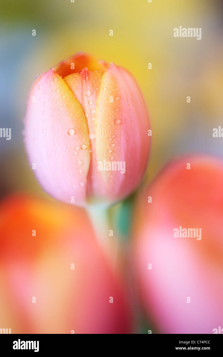 Close up of dew-covered orange tulips in spring - Stock Image