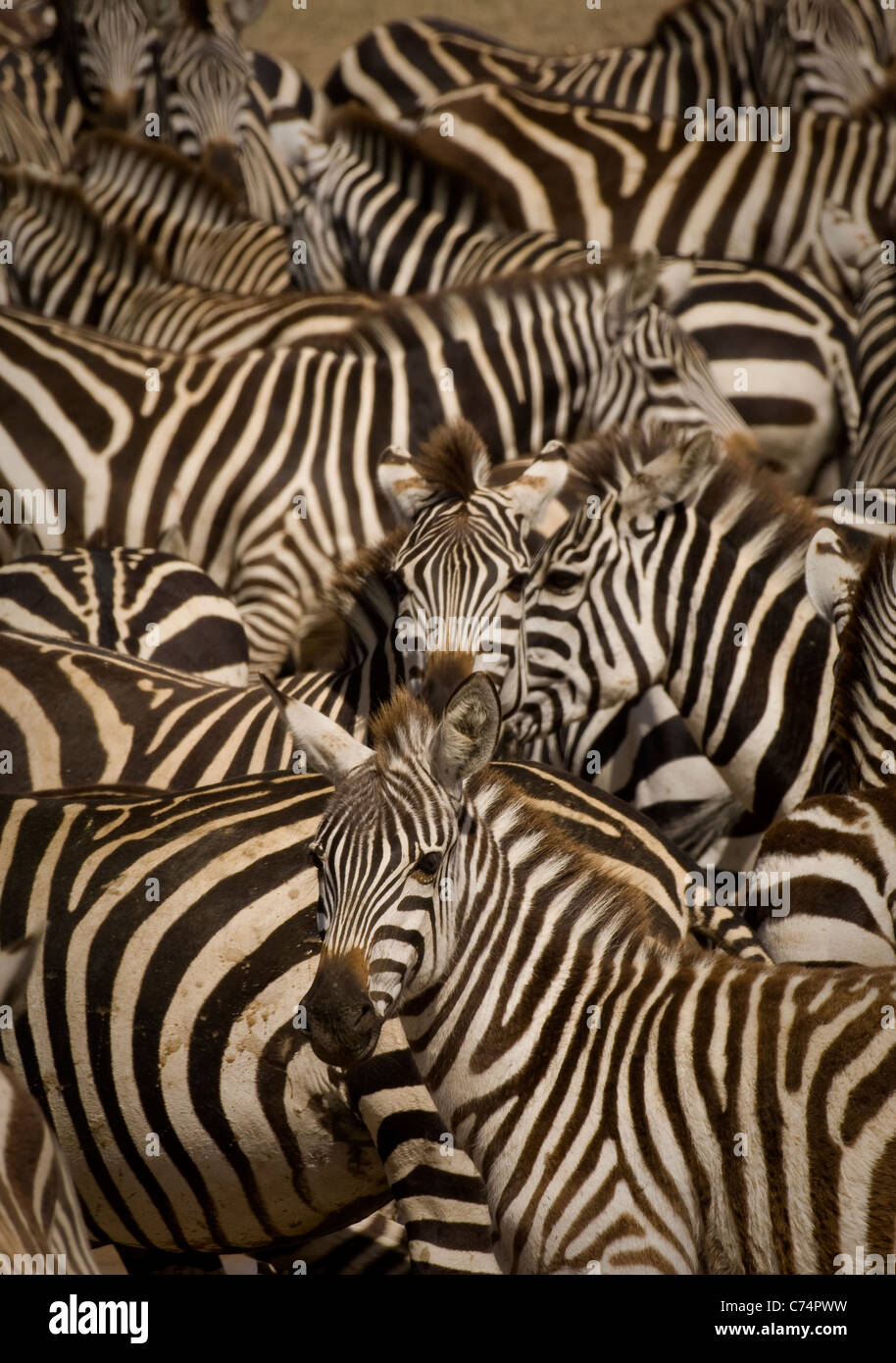Africa,Tanzania, Serengeti-Burchell's zebras crowded together in waterhole - Stock Image
