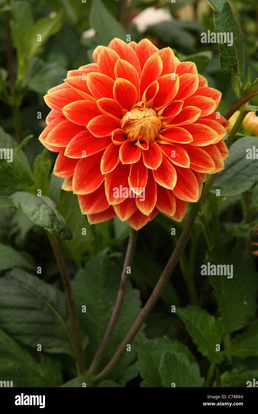 Orange And Yellow Dahlia Flower Growing In Garden In The Village Of