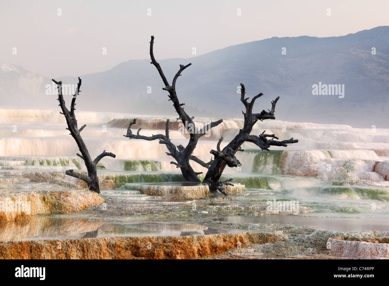 Dead tree on travertine terraces at Mammoth Hot Springs, Yellowstone National Park, Wyoming, USA - Stock Image