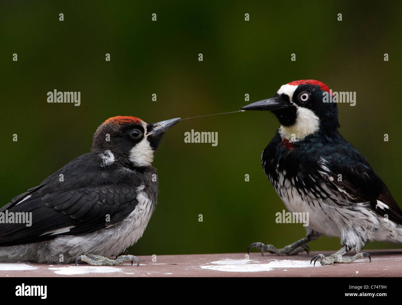 String of Saliva between the beaks of an Adult and an Immature Acorn Woodpecker - Stock Image