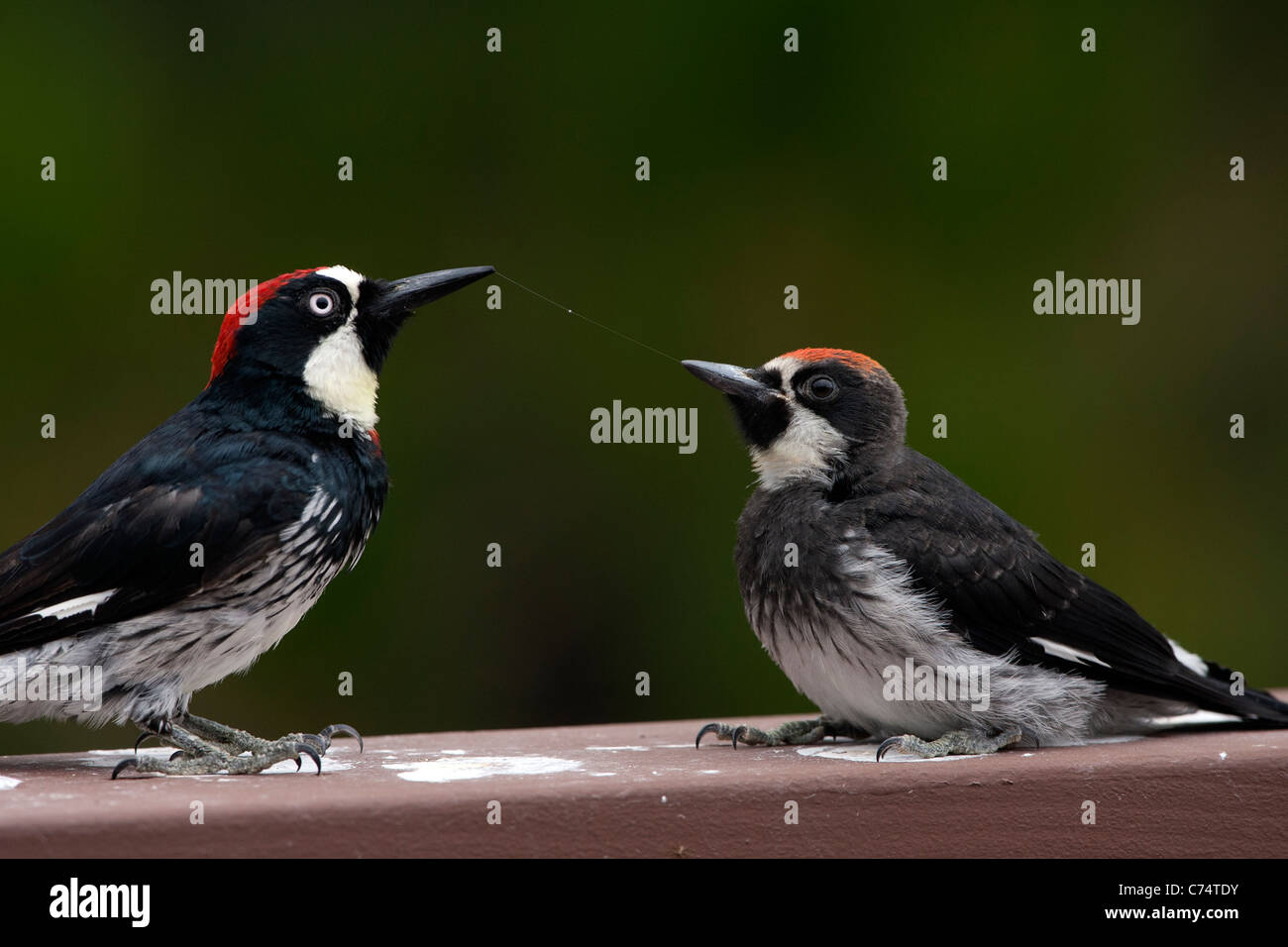 Adult and Immature Male Acorn Woodpeckers with a String of Saliva between their beaks after being fed - Stock Image