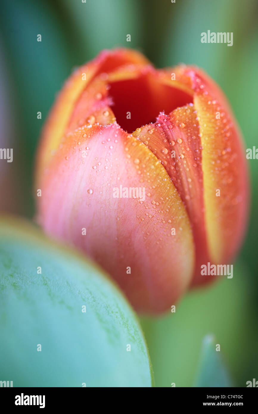 Close up of a dew-covered orange tulip in spring - Stock Image