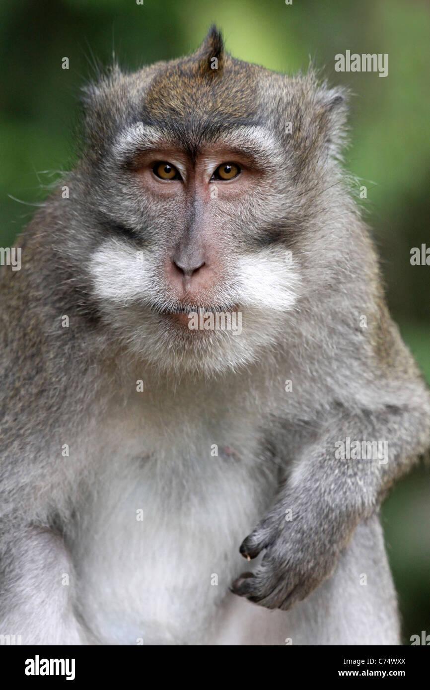 Crab-eating Macaque Macaca fascicularis - Stock Image
