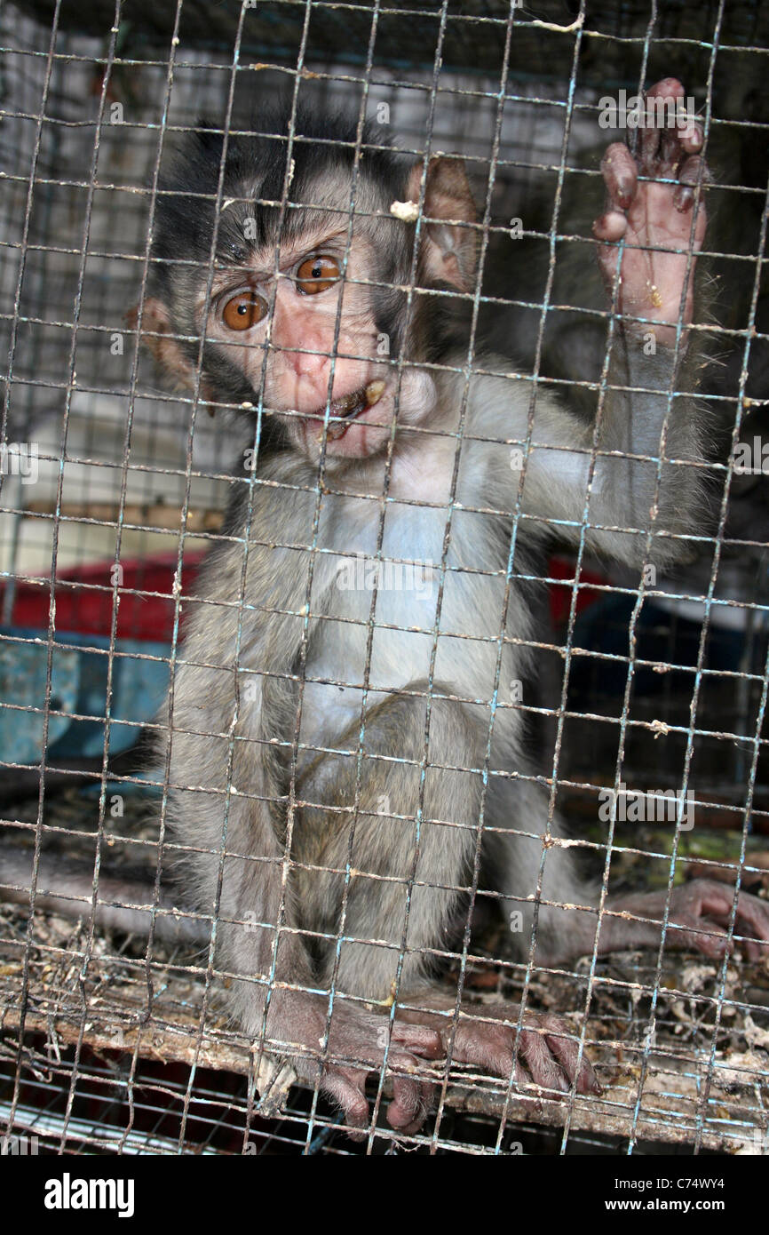 Juvenile Crab-eating Macaque Macaca fascicularis Caged In An Indonesian Bird & Animal Market Stock Photo