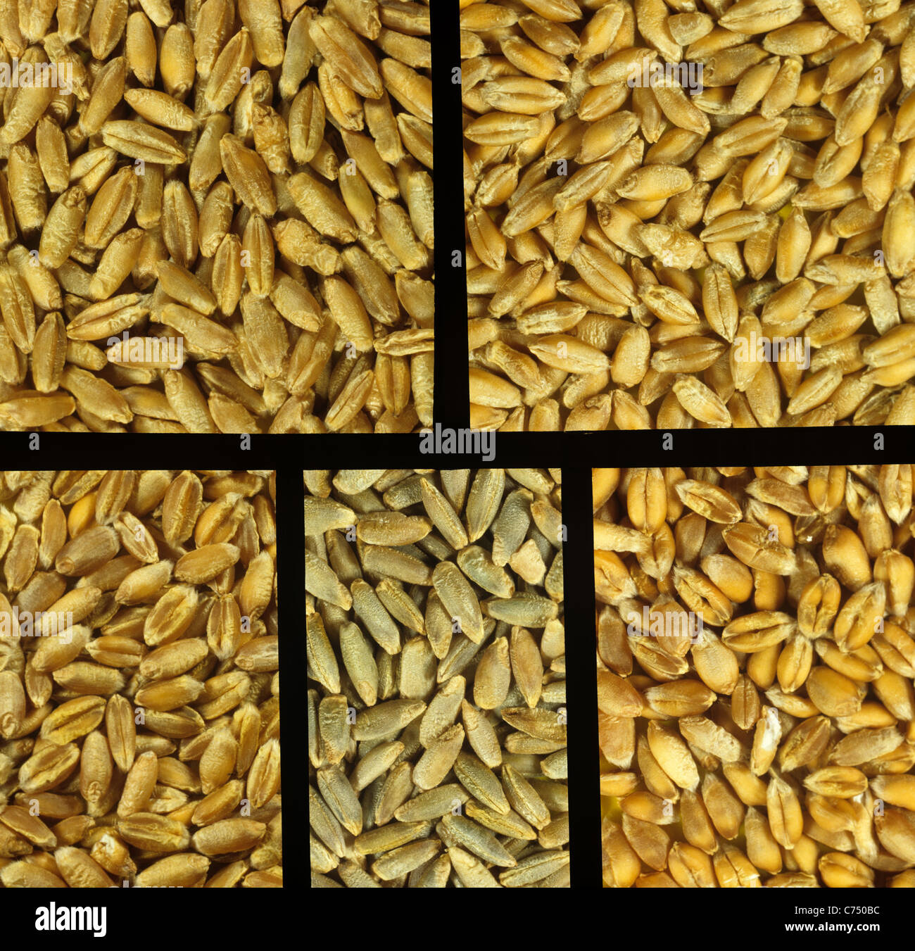 Triticale, rye and wheat grains - Stock Image