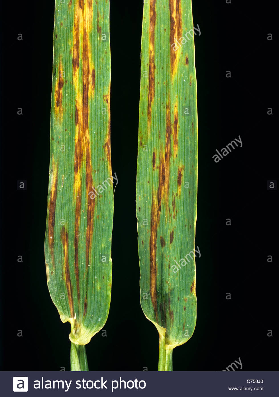 Net blotch (Pyrenophora teres) lesions on barley leaves from a mature crop - Stock Image