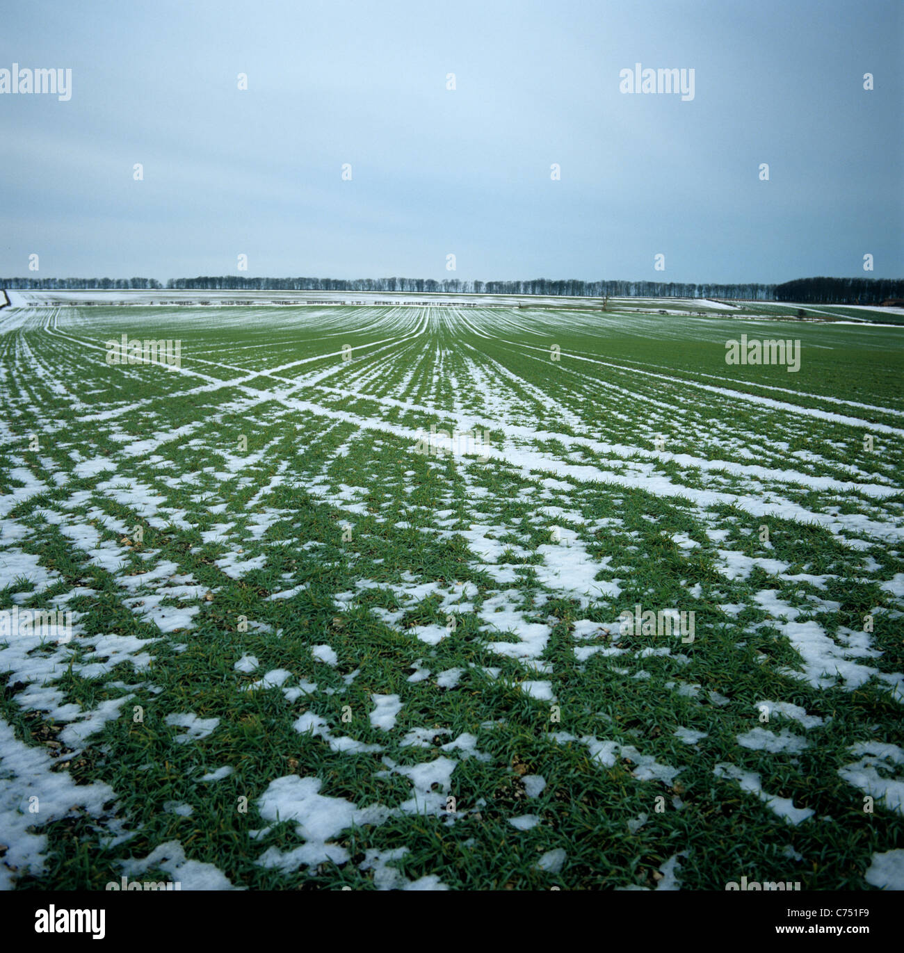Overwintering barley crop with light snow patches, Yorkshire, December - Stock Image